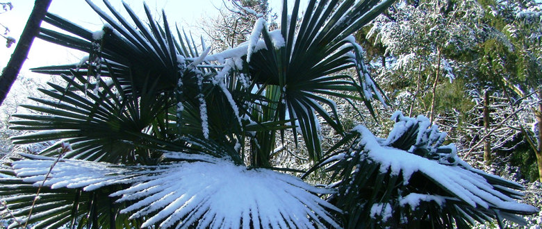 Hardy Trachycarpus fortunei in the snow