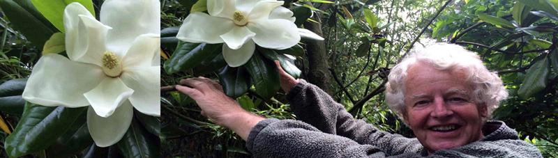 The wonderful fragrance of Magnolia grandiflora