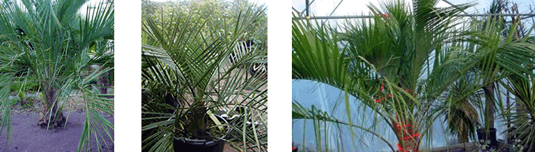 Butia and Jubaea at Nursery De Groene Prins