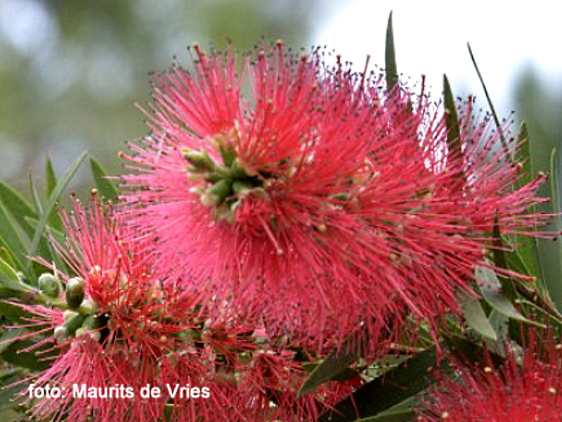 Bottlebrush at de Groene Prins